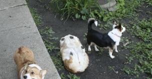 Köpeklerin Bu Sempatik Hallerini Çok Beğeneceksiniz!