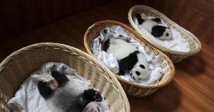 En Sevimli Halleriyle Hayvanlar Aleminin Maskotları: Pandalar!
