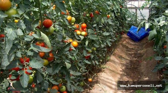 Tahıl, Meyve ve Sebze Üretimi Verileri Açıklandı