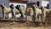 Çevik Kuvvet Toplumsal Olaylara Müdahalede Artık 'Kangal Köpeği' Kullanacak