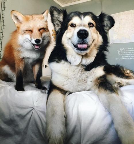 Tilki ve köpeğin inanılmaz dostluğu