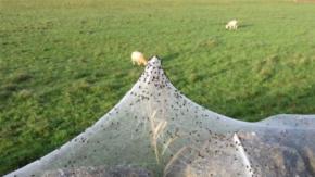 Korku Filmi Gibi! Örümcek Ağı İşgalinden İlginç Fotoğraflar