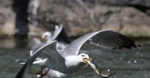 Van Gölü'ndeki Martılar İçin Zorlu Yolculuk Ziyafete Dönüştü