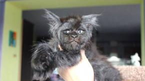 Rusya#039;da yaşayan iki aylık kedi internetin yeni fenomeni oldu.