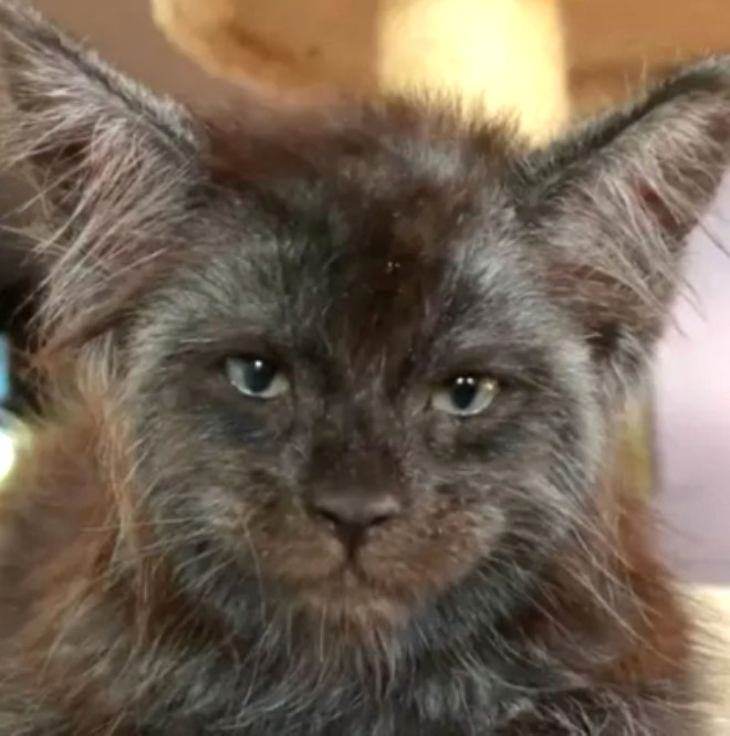İnsan Yüzlü Kedi Görenleri Şaşırtıyor!