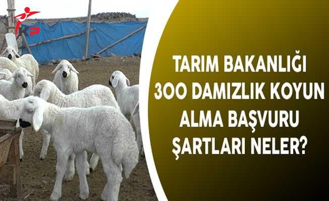 Tarım Bakanlığı 300 Damızlık Koyun Alma Başvuru Şartları Neler?