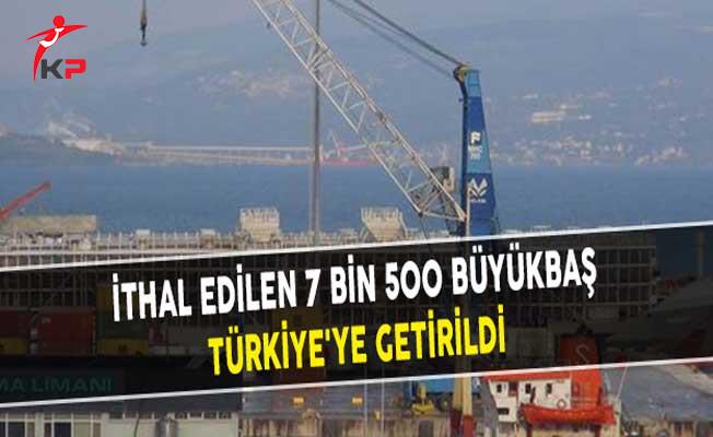 İthal Edilen 7 Bin 500 Büyükbaş Türkiye'ye Getirildi