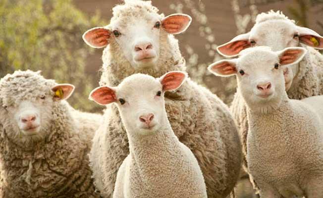 300 Koyun Projesinde Dağıtımların Ne Zaman Başlayacağı Belli Oldu!
