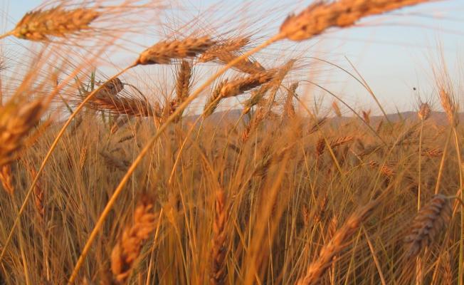 Kosova Buğday İthalatına Devam Ediyor