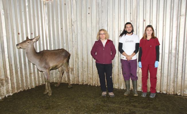 Tedavileri tamamlanan geyikler doğal yaşam parkına gönderildi