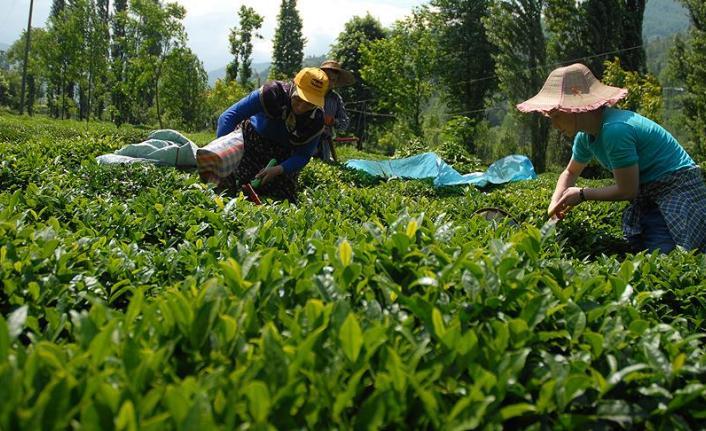 Bakan Pakdemirli Rize'de 2019 yılı yaş çay alım fiyatlarını bugün açıklayacak!