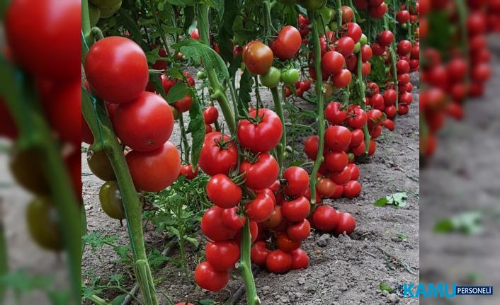 Domates fiyatları düşüyor mu? Yaz domatesi fiyatları ne kadar olacak?