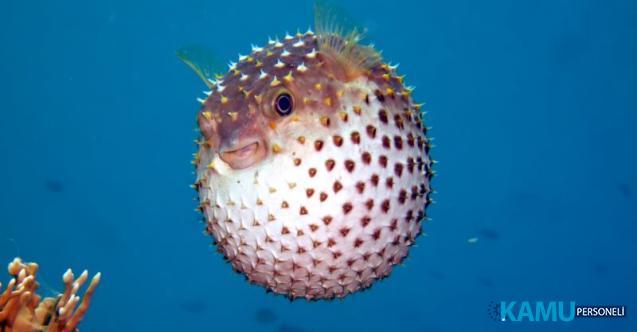 Denizde dehşet! Türkiye'de ilk! Balon Balığı Mersin Anamur'da çocuğun parmağını kopardı!