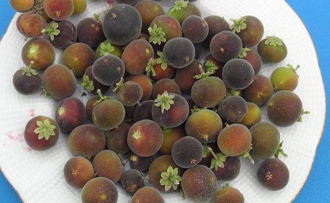 Tropikal ketembilla Antalya'da ilk meyvelerini verdi