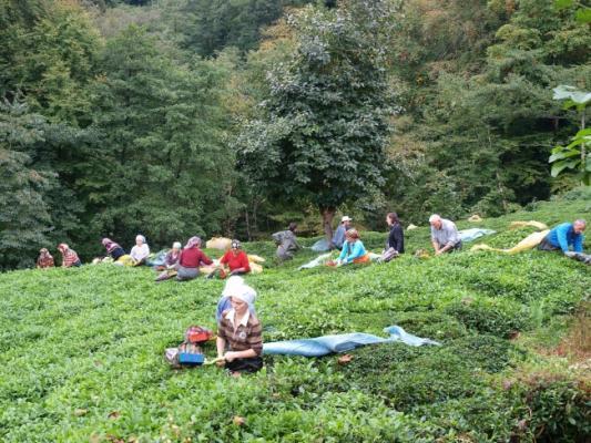 4 ilde yapılacak çay hasadı için işçi arayışı sürüyor!