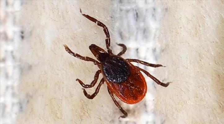 Türkiye'de ilk defa görüldü! Kenelerden bulaşan Kırım Kongo Kanamalı Ateşi hastalığı görüldü!