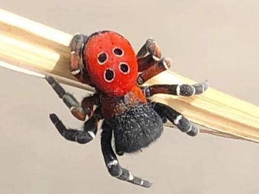 Türkiye'nin birçok yerinde yaşayan Uğur Böceği Örümceğine dikkat!