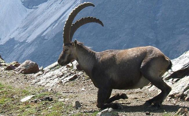 Dağ keçilerinin avlanabilmesi için açılan ihale iptal edildi!