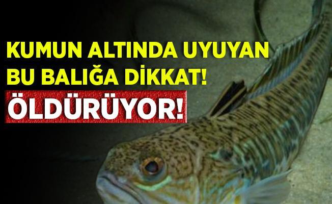 Ege'de zehirli Trakonya alarmı! Bu balık öldürüyor!