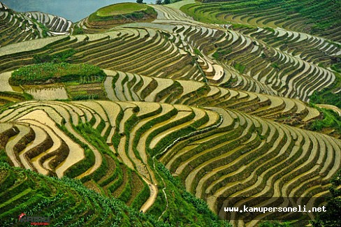 8 Bin Yıllık Pirinç Tarlası Görenleri Hayrete Düşürdü