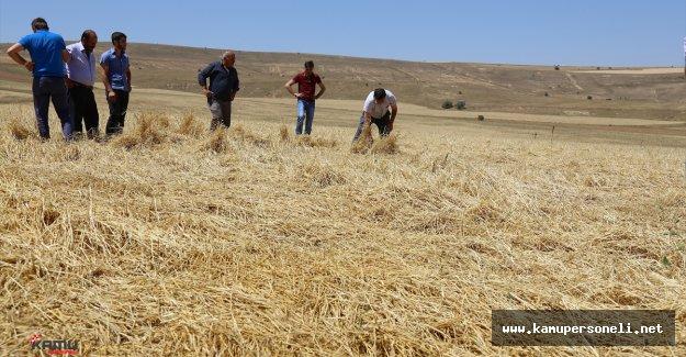 Bayburt'taki Dolu Yağışı Tarım Arazilerine  Büyük Zarar Verdi