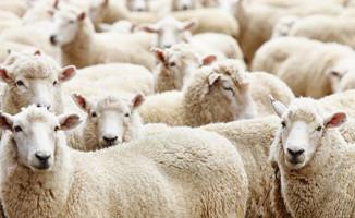 TİGEM 300 Koyun Başvuru Sonuçları Açıklandı!