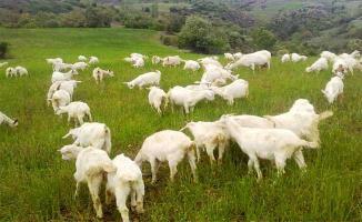 5 Bin TL Maaş, Lojman ve Sigorta İle Çoban Bulunamıyor