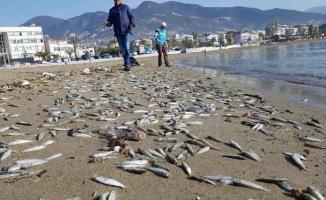 Alanya sahillerine çok sayıda ölü gümüş balık vurdu