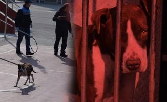 Çorum'da bir ortaokula giren pitbull cinsi köpek, öğrencilere saldırdı