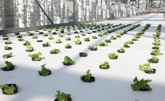 İBB'nin cam serada gerçekleştirdiği topraksız tarımda, ikinci dikim yapıldı