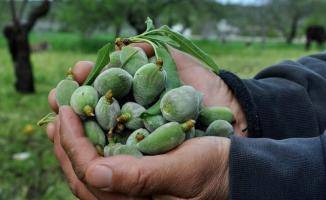 İlk çağla badem hasadı Muğla Datça'da toplandı