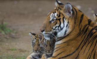 Pakistan'daki hayvanat bahçesi fazla aslan ve kaplanları satacak