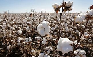 Şanlıurfa Ticaret Borsası'nda kütlü pamuğun kilogram fiyatı belli oldu