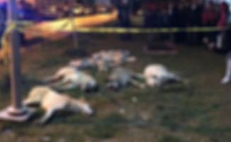 Ankara'da 13 Sokak Köpeği Zehirlenerek Öldürüldü !