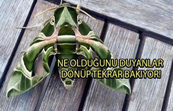 Muğla'nın Bodrum ilçesinde 'Daphnis Nerii' diğer adıyla mekik kelebeği görüldü