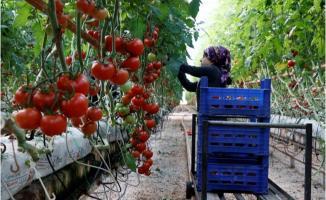 2019 yılında 56 ülkeye domates ihracatı yapıldı