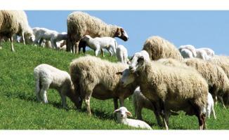 2020 Küçükbaş hayvancılık yılı olacak