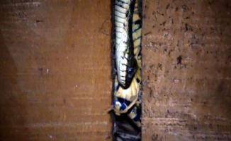 Korkutan görüntüler! Evin çatısından boyları 1 metreyi aşan yılanlar giriyor!