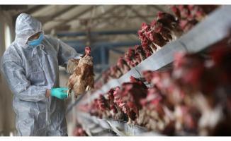 Sakarya'da korkutan kuş gribi iddiası! 700 bin tavuk imha edildi!