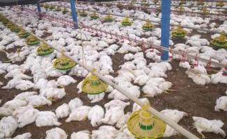 Sakarya'da 700 bin tavuk telef oldu! Kuş gribi salgını olmasından endişe ediliyor!