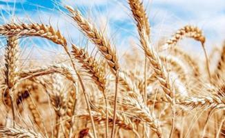 Dolar buğday fiyatlarını etkiler mi? Türkiye'nin buğday ithalatı
