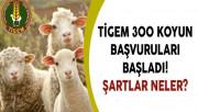 TİGEM 300 Koyun Başvuruları Başladı! Şartlar Neler?