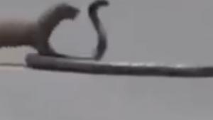 Doğanın en savaşçı hayvanının yılana karşı mücadelesi...